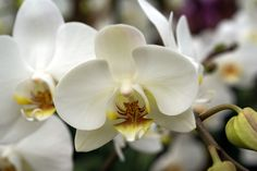 White Orchid   White Orchids close up