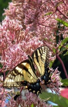Spring...Butterfly on Blooms