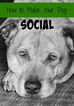 Dogs are social creatures. In addition to spending time with their human family members, pups also like to socialize with other dogs. Dog parks provide the perfect venue for pooches to play and exercise with other dogs in a safe and controlled setting. However, introducing a puppy to the dog park scene might cause a …