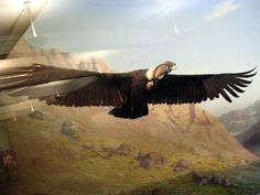 The Andean Condor (Vultur gryphus) is a species of South American bird in the New World vulture family Cathartidae and is the only member of the genus Vultur. Found in the Andes mountains and adjacent Pacific coasts of western South America, the Andean Condor has a wingspan of up to 3.2 m/10.5 ft