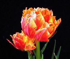 Ruffled Tulips