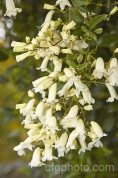 110 besten pflanzen aus australien neuseeland bilder for Evergreen pflanzen