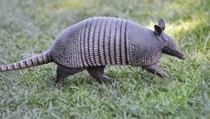 Armadillo Gets Shot, Bounces Bullet Right Back Into His Shooter's Head. make sure you read the whole story on ' the Dodo' their are quite a few karma filled funny stories like this