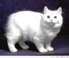Cymric cat   Breeds cats