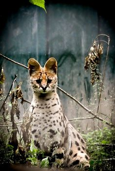 African Serval Wild Cat-I love their big ears. Beautiful Cats, Animals Beautiful, Cute Animals, Gato Serval, Big Cats, Cats And Kittens, African Cats, Cat In Heat, Wild Animals Photos