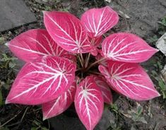 "Caladium 1 Bulb, Queen of the Leafy Plants, ""Khongkhwan"" Colourful Tropical From Thailand. Caladium /kəˈleɪdiəm/ is a genus of flowering plants in the family Araceae. Many are sold as Caladium × hortulanem, a synonym for Caladium bicolor. Leafy Plants, Colorful Plants, Unique Plants, Foliage Plants, Exotic Plants, All Plants, Water Plants, Tropical Plants, House Plants Decor"