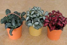 Beautiful Fittonia (Nerve Plant) Collections for House Plant (16) - Green Friends for Our Home  IMAGES, GIF, ANIMATED GIF, WALLPAPER, STICKER FOR WHATSAPP & FACEBOOK