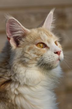 Maine Coon, Red Silver Blotched & White (ds 09 22) Coonini's Size Matters