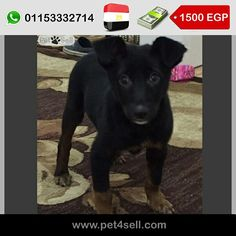Egypt, Cairo  male 70 days. vaccinated. he play to much. #pet4sell
