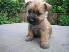Pui Cairn Terrier de vanzare More