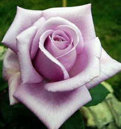 Rare Purple Rose Seeds Flower Bush Perennial Shrub Garden Home Exotic Home Yard Grown Party Wedding Bi Color Bright Beautiful Tropical by PetalAndThornSeeds on Etsy Exotic Flowers, Pretty Flowers, Rose Tattoos, Flower Tattoos, Gif Kunst, Rose Reference, Rosa Rose, Growing Roses, Planting Roses