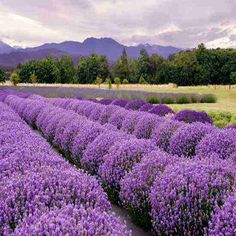 Starting an herb business from the ground up, includes a guide for growing herbs, harvesting herbs, saving herb seed and selling your products. Growing Lavender, Growing Herbs, Lavender Plants, Herb Farm, Herb Garden, Fruit Garden, Sequim Washington, Washington Usa, Image Deco