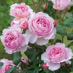 The Ancient Mariner -Masses of many petalled, glowing pink blooms with a strong, warm myrrh scent. Forms a very healthy and vigorous, larger than average shrub.