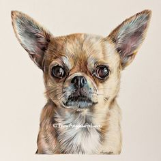 Little Theo is three years old and was born without a tail. I love drawing Chihuahua coloured pencil portraits as they always come out larger than the dogs themselves!