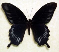 Real Framed Butterfly Giant Black by REALBUTTERFLYGIFTS on Etsy