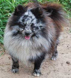 Blue Merle Pomeranian Dog Puppy Pups Puppies Pom Pom