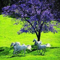 Beautiful white horses running Clydesdale, All The Pretty Horses, Beautiful Horses, Animals Beautiful, Beautiful Beautiful, Absolutely Gorgeous, Arte Equina, Photo Images, Majestic Horse