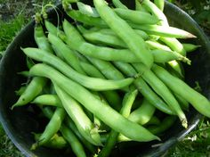 1kg fresh broad beans in their pods 2 cloves garlic, minced 2 tsp ground cumin 1 tbsp lemon juice 2-3 tbsp olive oil + more to finish paprika handful coriander leaves, chopped Pod the beans and bla…
