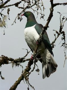 The New Zealand Pigeon or kererū (Hemiphaga novaeseelandiae) is a bird endemic to New Zealand. Māori call it Kererū in most of the country but kūkupa and kūkū in some parts of the North Island, particularly in Northland. New Zealand pigeons are commonly called wood pigeons but are not the same as the Wood Pigeon (Columba palumbus), which is a member of a different genus.