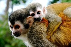 Squirrel Monkeys in Manuel Antonio Costa Rica :)