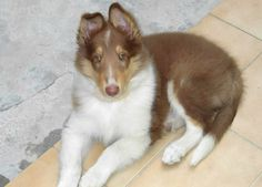 Red tricolor rough collie puppy