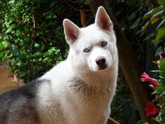 Free Image on Pixabay - Dog, Pets, Husky, Siberian Husky Puppies Near Me, Husky Puppies For Sale, Le Husky, Husky Dog, Raccoon Repellent, White Husky Puppy, Scooby Dog, Getting Rid Of Raccoons, Husky Facts