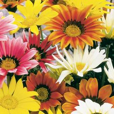 Gazanias are heat-tolerant, daisy-like flowers with vivid colors. Plant 9 to 12 inches apart in beds, containers, or hanging baskets. Learn more here.