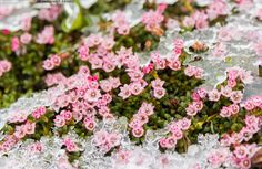 The spring flower on the fells in Finnish Lapland Finland, Botany, Spring Flowers, Natural Beauty, Floral Wreath, Garden, Nature, Plants, Beautiful