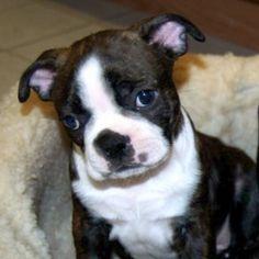Boston Terrier puppy.   :)