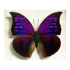 Framed Butterfly Rare Purple Anaea Tyrianthina 822 ($130) ❤ liked on Polyvore featuring home, home decor, wall art, grey, home & living, home décor, wall décor, wall hangings, framed wall art and gray wall art