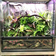 Pink zebra fish in the vivarium – aquascaping Planted Aquarium, Aquarium Garden, Live Aquarium Plants, Aquarium Fish Tank, Fish Tanks, Gecko Terrarium, Garden Terrarium, Gecko Vivarium, Tortoise Vivarium