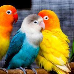 Pericos de colores