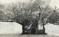PATRICK VAN CAECKENBERGH, from the serie 'Drawings of Old Trees' summer 2010.   http://www.zeno-x.com/artists/patrick_van_caeckenbergh.htm