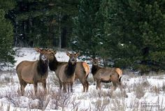 Elk in Idaho. Probably won't see these beautiful creatures as much while on my Mission.