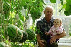 Опыт выращивания арбузов в теплице | Антонов Сад | Яндекс Дзен