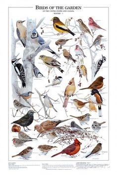 Oiseaux de jardin - Hiver II Posters sur AllPosters.fr