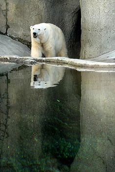 i LOVE polar bears!!