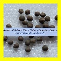 Graines de CAMELLIA SINENSIS - ARBRE A THE ou THEIER