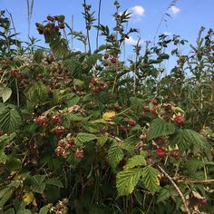 These wild raspberries are tiny and very time consuming to pick but a wonderful flavour - what shall we make with them?