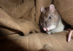 Safe Foods for Rats List Rat Care, Albino, Pink Eyes, Rats, Safe Food, Animals, Foods, Food Food, Animales