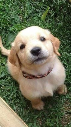 Aaaaaaaaaah golden retriever puppy