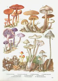 Vintage Antique MUSHROOMS illustration, book page, book print, bookplate 133