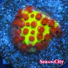 Live Coral, Corals, Pineapple, Stuffed Mushrooms, Sea, Fruit, City, Plants, Pinecone
