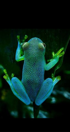 """flowartstation: """" Glass Frog Looks Like a Glowing Constellation in the Rainforest The Slope-snouted Glass Frog (Cochranella euknemos) is a species of spotted glass frog considered rare in both Costa. Les Reptiles, Reptiles And Amphibians, Mammals, Cute Baby Animals, Animals And Pets, Funny Animals, Funny Frogs, Cute Frogs, Frog Pictures"""