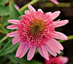 """Echinacea Double Scoop™ Bubble Gum    Part of the """"Double Scoop"""" series of well-branched plants with eye-catching, double blooms in brilliant colors, Bubble Gum is pure pink, right up to its cute-as-a-button center. As in many of the new double Echinaceas, the tightly tufted cone takes the lead role while the surrounding skirt of ray petals becomes the supporting cast. 'Balscblum' PP 23,103"""
