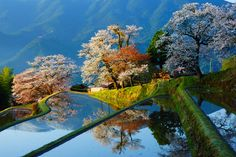 三多気の桜(みたけのさくら)/三重県