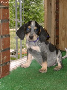 Coonhound Blue Tick. :-)