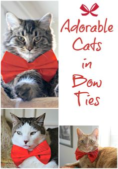 These Adorable Cats in Bow Ties Will Steal Your Heart. Kitty Cat Handsome!