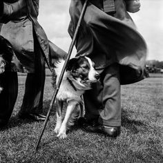 Jane Bown's photojournalism – in pictures. Sheepdog trials, Hyde Park, London, 1958