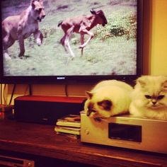 take a break please#cats #kitten #lovecats #ragdoll #chinchilla #Persian #kitten #meow #lovecat